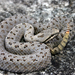 Twin-spotted Rattlesnake - Photo (c) Michael Price, all rights reserved