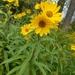 Sawtooth Sunflower - Photo (c) Matt Harmon, all rights reserved