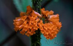 Besleria notabilis image