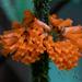 Besleria notabilis - Photo (c) Nagi Aboulenein, todos los derechos reservados