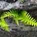 Polypodium vulgare - Photo (c) Eulalia Dupuy Julià, todos los derechos reservados