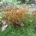 Polytrichastrum ohioense - Photo (c) Christopher, todos los derechos reservados, uploaded by Christopher Tracey