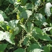 Persicaria virginiana - Photo (c) Something Cold, כל הזכויות שמורות