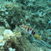 Serranus - Photo (c) naturalist, all rights reserved, uploaded by naturalist