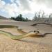 Demansia reticulata - Photo (c) Adam Brice, todos los derechos reservados
