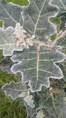 Image of Solanum marginatum