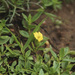 Bacopa procumbens - Photo (c) carlosmartorell69, all rights reserved, uploaded by Carlos Martorell