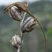Abaniquillo Pañuelo del Pacífico - Photo (c) Sebastián Block Munguía, todos los derechos reservados