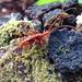 Chenoderus testaceus - Photo (c) Juan C. Opazo, כל הזכויות שמורות