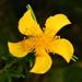 Hypericum fasciculatum - Photo (c) Jeff S., alguns direitos reservados (CC BY-NC)