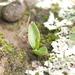Ophioglossum engelmannii - Photo (c) carlosmartorell69, todos los derechos reservados, uploaded by Carlos Martorell