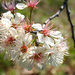 Mexican Plum - Photo (c) Layla, all rights reserved, uploaded by Layla Dishman
