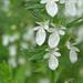 Agrimonia - Photo (c) Layla, todos los derechos reservados, uploaded by Layla Dishman