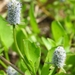 Eryngium prostratum - Photo (c) Layla, todos los derechos reservados, uploaded by Layla Dishman
