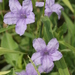 Violet Ruellia - Photo (c) Layla, all rights reserved, uploaded by Layla Dishman