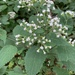 White Snakeroot - Photo (c) Bend in the Trail, all rights reserved