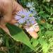 Symphyotrichum prenanthoides - Photo (c) Nathan Laing, todos los derechos reservados