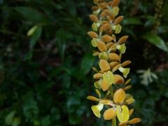 Epidendrum laucheanum image