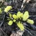 Acacia verticillata verticillata - Photo (c) Matthew Baker, todos los derechos reservados