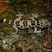 Hemidactylus maculatus - Photo (c) Sumit Diwanji, כל הזכויות שמורות