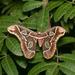 Rothschildia lebeau - Photo (c) Joseph C, כל הזכויות שמורות