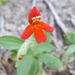 Crimson Monkeyflower - Photo (c) Francisco Anaya, all rights reserved