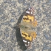 Australian Painted Lady - Photo (c) q99of9, all rights reserved
