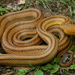 North American Ratsnakes - Photo (c) Michael Price, all rights reserved