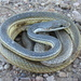 Sonoran Whipsnake - Photo (c) Michael Price, all rights reserved