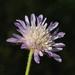 Knautia integrifolia - Photo (c) Ori Fragman-Sapir, todos los derechos reservados