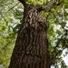 Populus deltoides deltoides - Photo (c) Trevor Jensen, kaikki oikeudet pidätetään
