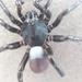 Ummidia rongodwini - Photo (c) Patrick Wingard, όλα τα δικαιώματα διατηρούνται