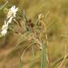 Wedelia cardenasii - Photo (c) Germaine Alexander Parada, todos os direitos reservados