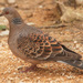 Oriental Turtle Dove - Photo (c) Damon Tighe, all rights reserved