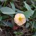 Camonea pilosa - Photo (c) Leonard Worthington, todos los derechos reservados