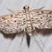 Watermilfoil Leafcutter Moth - Photo (c) Eric Williams, all rights reserved