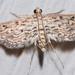 Parapoynx allionealis - Photo (c) Eric Williams, todos los derechos reservados