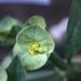 Euphorbia pteroneura - Photo (c) J. Arturo de Nova, all rights reserved