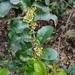 Schinus latifolia - Photo (c) victorbustos, כל הזכויות שמורות