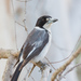 Grey Butcherbird - Photo (c) Judd Patterson, all rights reserved