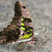 Tailed Jay - Photo (c) Amol Kokane, all rights reserved