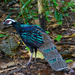 Palawan Peacock-Pheasant - Photo (c) 黄秦, all rights reserved