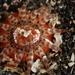Peachia quinquecapitata - Photo (c) Minette Layne, todos los derechos reservados, uploaded by Minette Layne