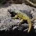 Phymaturus maulense - Photo (c) Camila Garcia Pasarin, todos los derechos reservados
