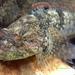 Cottus immaculatus - Photo (c) Brandon Brooke, todos los derechos reservados