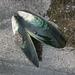 Perna canaliculus - Photo (c) Kevin Halling, todos los derechos reservados