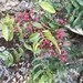 Pistacia terebinthus palaestina - Photo (c) Mark Gilman, todos los derechos reservados
