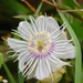 Stinking Passionflower - Photo (c) rmiguel, all rights reserved