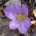 Colchicum lusitanum - Photo (c) Valter Jacinto, todos los derechos reservados