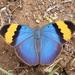 Euphaedra - Photo (c) maya_storm565, todos los derechos reservados